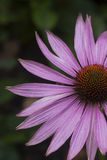 Echinea purpurea Fotografia Royalty Free