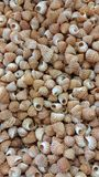 Echinius miniature Photo stock
