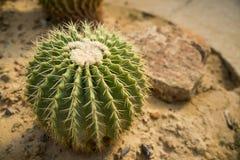 Echino cactus on desert field3 Stock Image