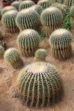 Echinocactus Stock Image