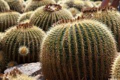 Echinocactus Royalty Free Stock Images