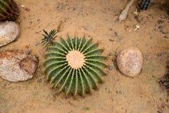 Echinocactus Στοκ Εικόνες