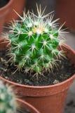 Echinocactus Close-up espinhoso do cacto Um potenciômetro marrom fotografia de stock