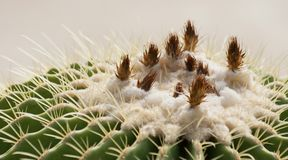 Echinocactus,Golden ball. Echinocactus grusonii, popularly known as the golden barrel cactus, golden ball or, amusingly, mother-in-law`s cushion, is a well known Stock Photo