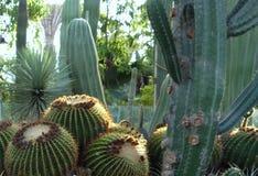 Echinocactus golden barrel and saguaro cactus royalty free stock photo