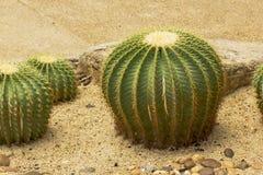 Echinocactus grusonii希尔达仙人掌是一次普遍的培育品种 免版税库存图片
