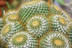 Echinocactus grusonii或金黄桶式仙人掌,罐园林植物 免版税库存照片