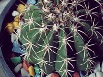 Echinocactus grusonii仙人掌的特写镜头 图库摄影