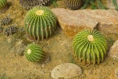 Echinocactus grusonii 免版税库存图片