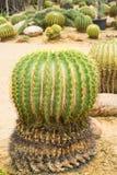 Echinocactus grusonii Stockfotos