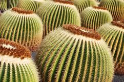 Echinocactus grusonii AKA The Golden Barrel Cactus Stock Photography