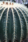 Echinocactus grusonii in a botanical garden. Details of echinocactus grusonii in a botanical garden stock photo