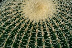 Echinocactus grusonii, Cactaceae, Golden barrel Cactus. Echinocactus grusonii, Cactaceae, Golden barrel Cactus in Birmingham botanical gsrdens Royalty Free Stock Image