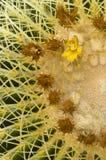 Echinocactus grusonii cactus Royalty Free Stock Image