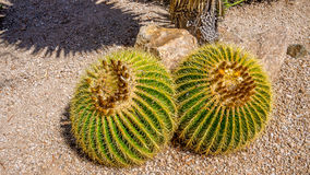 Echinocactus grusonii Cactus. Echinocactus grusonii aka Golden Barrel Cactus in the Arizona Desert royalty free stock photography