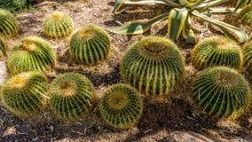 Echinocactus grusonii Cactus Royalty Free Stock Images