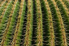 Echinocactus grusonii cactus close up, full format. Close up on cactus called in Latin Echinocactus grusonii on a sunny day royalty free stock photos