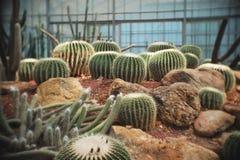 Echinocactus grusonii, Cactus in garden has a brown stone around, Cacti, Cactaceae, Succulent, Tree, Drought tolerant plant. Echinocactus grusonii, Cactus in stock photo