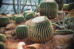 Echinocactus grusonii, Cactus in garden has a brown stone around, Cacti, Cactaceae, Succulent, Tree, Drought tolerant plant. Echinocactus grusonii, Cactus in stock image