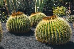 Echinocactus grusonii cactus, Lanzarote. Close up of Echinocactus grusonii cactus, Lanzarote stock images