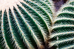 Echinocactus grusonii Stock Image