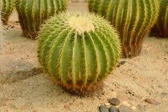 Echinocactus grusonii desert plant growth on sand ground. In garden royalty free stock images