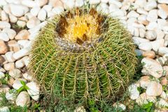Echinocactus grusonii. Known as the golden barrel cactus and golden ball royalty free stock photography