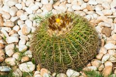 Echinocactus grusonii. Known as the golden barrel cactus and golden ball stock images