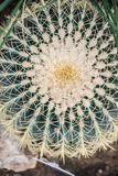 Echinocactus grusonii. Popularly known as the golden barrel cactus, golden ball or, amusingly, mother-in-law`s cushion, is a well known species of cactus, and stock image
