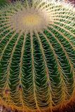 Echinocactus grusonii. Popularly known as the golden barrel cactus, golden ball or mother-in-law`s cushion stock photo