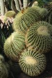 Echinocactus Grusonii in the garden stock photos