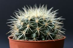 Echinocactus Grusonii golden barrel ball cactus or mother in law cushion in flower pot in front of dark background stock photo