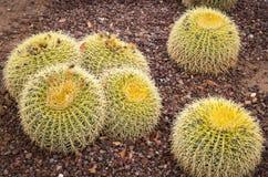 Echinocactus Grusonii golden barrel Cactus. A garden with Echinocactus Grusonii golden barrel Cactus stock photos