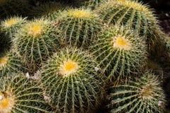 Echinocactus grusonii or golden barrel cactus. Echinocactus grusonii, popularly known as the golden barrel cactus, golden ball or mother-in-law`s cushion. It has stock image