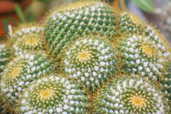 Echinocactus grusonii or golden barrel cactus ,Pot ornamental plant royalty free stock photos