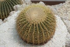 Echinocactus grusonii Hildm (金黄桶式仙人掌、金黄球,马瑟在法律的坐垫) 免版税库存图片