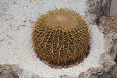 Echinocactus grusonii Hildm (金黄桶式仙人掌、金黄球,马瑟在法律的坐垫) 库存图片
