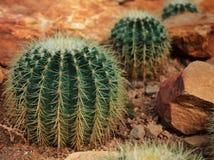Echinocactus grusonii Hildm Royalty Free Stock Photo