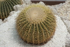 Echinocactus grusonii Hildm (Golden Barrel Cactus, Golden Ball, Mather-in-Law's Cushion). Picture a large spherical green cactus with a thick cap of Golden sharp royalty free stock image