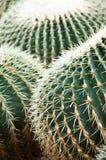 Echinocactus Grusonii Hildm. Kaktus. Stockfotos