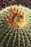 Echinocactus grusonii kaktus Zdjęcie Royalty Free