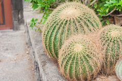 Echinocactus Grusonii kaktus, också som är bekant som guld- trumma i trädgården av Acicastello, Acitrezza, Catania, Sicilien arkivfoton