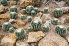 Echinocactus grusonii Stock Photos
