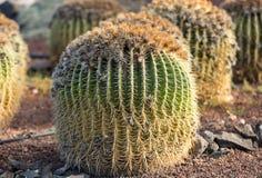 Echinocactus grusonii, popularly known as the golden barrel cactus, Royalty Free Stock Photos
