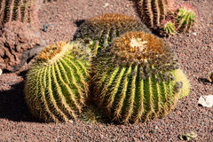 Echinocactus grusonii, popularly known as the golden barrel cactus. Golden ball or, amusingly, mother-in-law's cushion Stock Photos