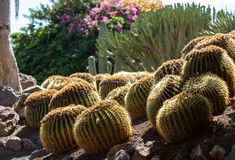 Echinocactus grusonii, popularly known as the golden barrel cactus. Golden ball or, amusingly, mother-in-law's cushion Royalty Free Stock Photo