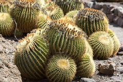 Echinocactus grusonii, popularly known as the golden barrel cactus. Golden ball or, amusingly, mother-in-law's cushion Stock Photo
