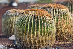 Echinocactus grusonii, popularly known as the golden barrel cactus,. Golden ball or, amusingly, mother-in-law's cushion Stock Photo