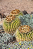 Echinocactus grusonii, popularly known as the golden barrel cactus,. Golden ball or, amusingly, mother-in-law`s cushion Royalty Free Stock Images