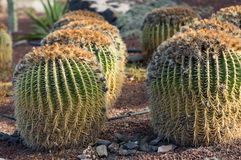 Echinocactus grusonii, popularly known as the golden barrel cactus,. Golden ball or, amusingly, mother-in-law`s cushion Stock Photos